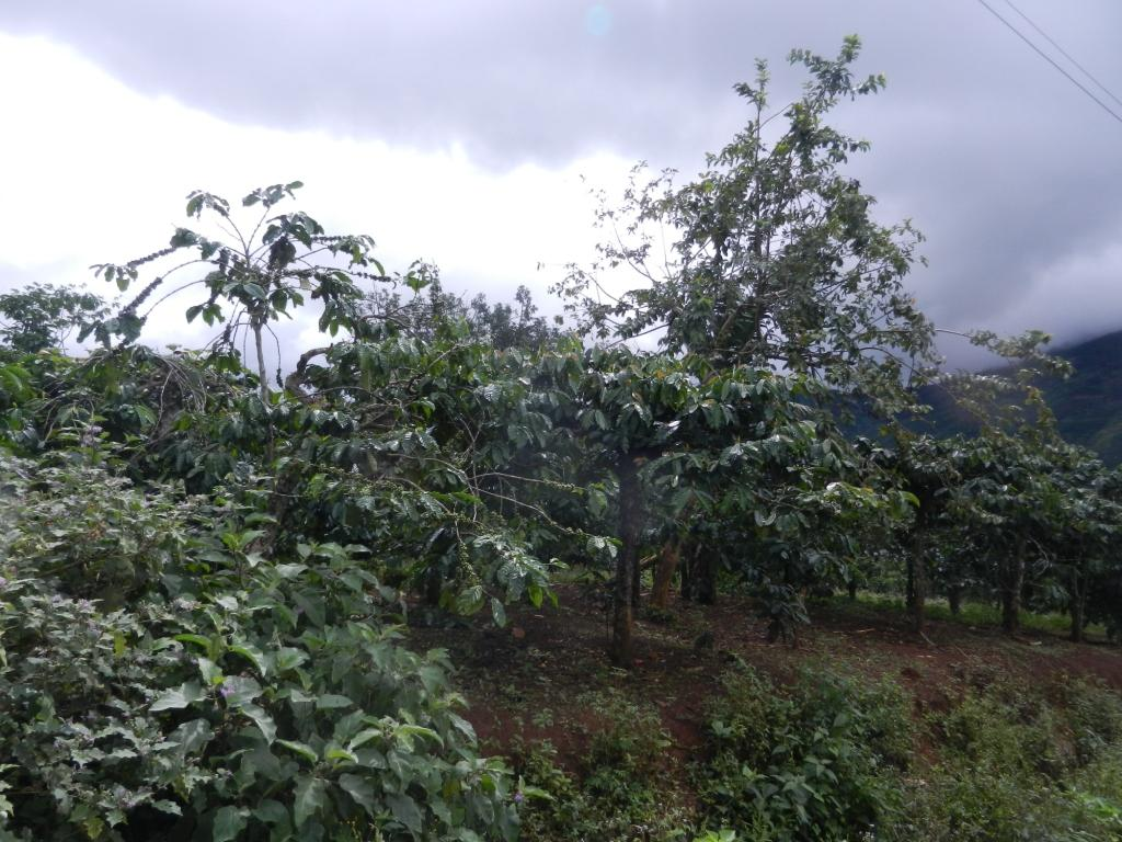 1504 Almost of the families have coffee gardens but the areas are small and poor fertilizered